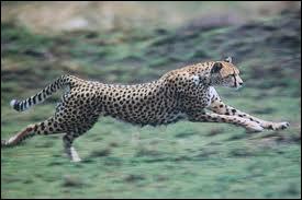 Quelle est la vitesse maximale du guépard ?