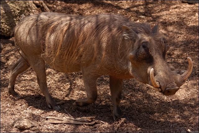 Emblématique de l'Afrique, j'ai un caractère de cochon !
