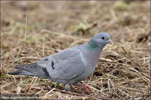 Cet oiseau est :