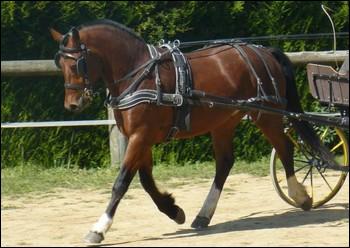 C'est la dernière race chevaline suisse. Il est utilisé comme cheval de selle mais l'attelage reste sa discipline principale. C'est ...