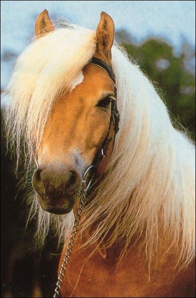Ce petit cheval est originaire d'Autriche. Il est reconnaissable à sa robe alezan aux crins lavés ou palomino. Il est utilisé comme cheval de selle et de trait. Il s'appelle ...