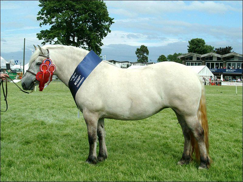 Ce poney est originaire d'Ecosse où il fut très longtemps utilisé comme cheval de bât, de trait et de selle par les fermiers écossais. Ce poney d'1. 44 m est appelé ...