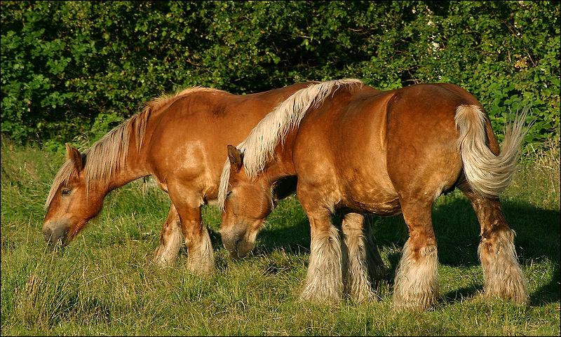 Ce cheval a été croisé avec des suffolks punchs, des bais de Cleveland et avec des ardennais. Il est le plus souvent alezan aux crins lavés, avec des marques blanches. Il s'appelle ...
