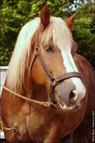 Ce cheval de trait originaire de la Bretagne, est reconnaissable à sa robe alezane. Il est utilisé pour l'attelage ou plus rarement pour tirer les filets de pêche. Il peut marcher l'amble. C'est :