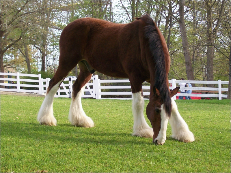 Ce cheval d'une tonne a été croisé avec des shires pour améliorer la race. Avant ils étaient destinés à remonter le charbon des mines. Ce grand cheval qui peut mesurer 1. 70 m est ...
