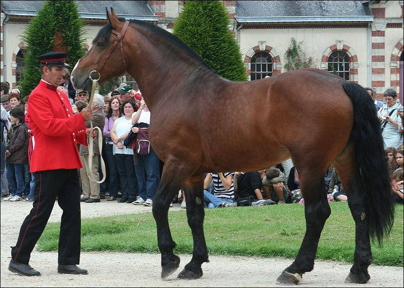 Cette race est utilisée pour tirer les carrosses en Basse-Normandie. Ces robes peuvent être baies, noires pangarées et alezanes. Il mesure de 1. 58 à 1. 71 m. Ce cheval s'appelle ...