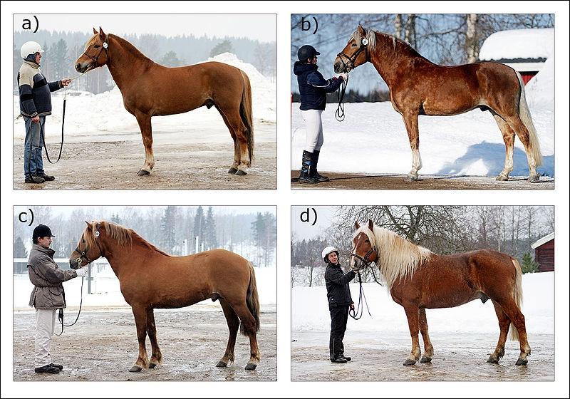 Ce cheval est utilisé comme cheval de selle et de trait. Il existe 4 types de morphologie suivant l'activité du cheval. Sa robe est généralement alezane, baie et plus rarement noire. C'est ...