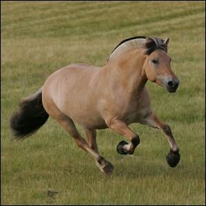 Ce poney à la robe isabelle est aussi connu sous le nom de poney norvégien. Il est aussi bien utilisé comme cheval de selle que pour l'attelage. C'est le ...