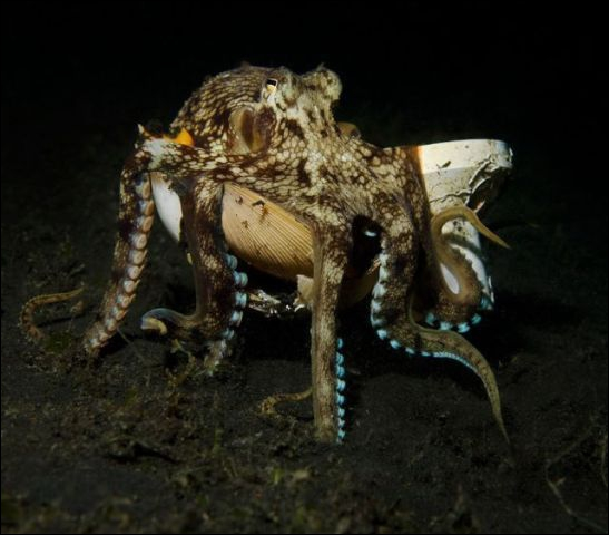 La pieuvre est un mollusque !