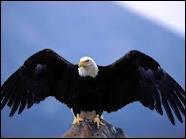 L'aiglesse est la femelle de l'aigle.