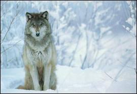 La louve est la femelle :