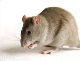 La femelle du rat s'appelle :