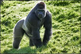 La femelle du gorille n'a pas de nom spécifique.