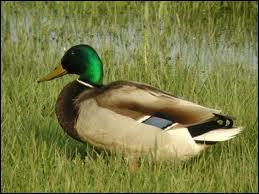 Comment se nomme la femelle du canard ?