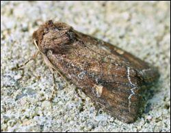 C'est un papillon de nuit, qui sous sa forme de chenille, est nuisible pour les moissons, les choux et de nombreuses plantes potagères, quel est son nom ?