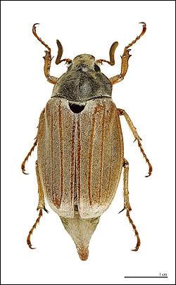 Qu'il soit de la saint-Jean, ou horticole, cet insecte vole entre mai et juin, et peut causer de gros dégâts aux cultures :