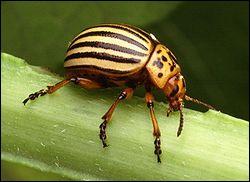 Insecte redoutable pour la pomme de terre à laquelle il s'attaque :