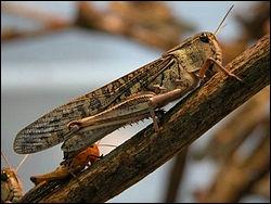 Pelerin, migrateur, nomade ou sénagalais, cet insecte qui sévit en nombre, fait également des ravages :