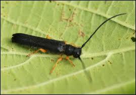 Voici un autre insecte xylophage, celui-ci s'attaque volontiers aux noisetiers, mais il existe aussi des espèces qui se nourrissent de bois dans les maisons ou qui s'attaquent aux Chênes : :