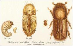 Le Bostrype est un coléoptère ravageur qui peut détruire des forêts entières . On compte 80 000 insectes par arbre infecté. quels sont les arbres qu'il attaque ?