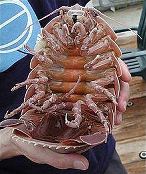 Crustacé immonde que l'on peut rencontrer dans le golfe du Mexique ?