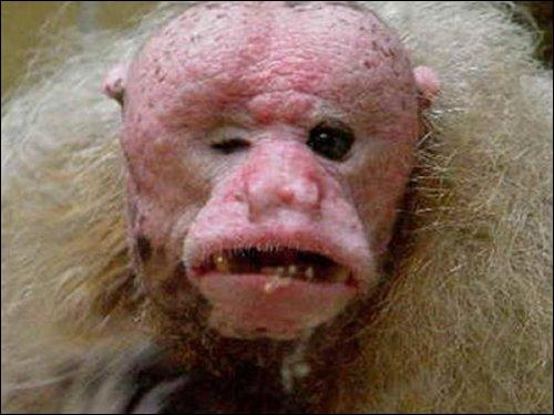Pauvre singe et la nature ne lui a pas fait de cadeau mais il peut tout de même être gentil car les chercheurs ne l'ont jamais vu se battre ?