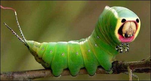 Lépidoptère très moche, qui donnera un papillon aussi moche, c'est la chenille ?