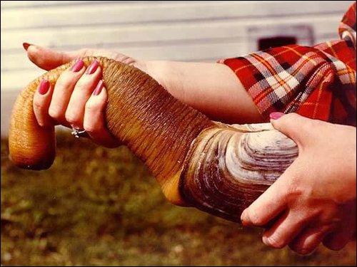 Gros mollusque ressemblant à un boudin à coquille, surnommé l'angle mort du point de vue animal ?