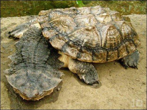 La tortue la plus moche de tous les temps, c'est sans doute la  Chelus fimbriata  mais en langue non-scientifique comment l'appelle-t-on ?