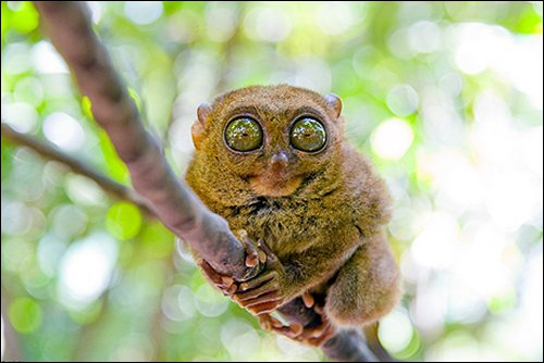 Si on ne voit pas ses yeux il est assez mignon mais quand on voit ses yeux plus gros que le cerveau ! Une sorte de singe ?