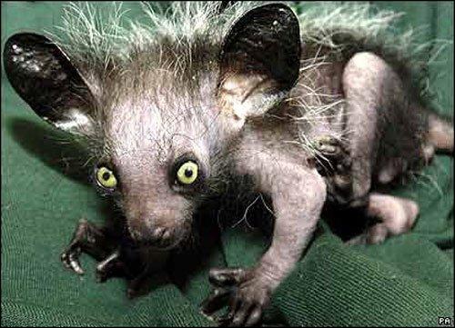 C'est un petit primate aux longues oreilles et pattes crochues et il apparaît dans les Barbapapa ?