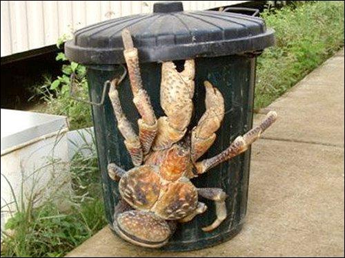Enorme crabe qui fait la taille d'une poubelle et si vous voulez le manger il vous faudra 4 seaux de mayonnaise ?
