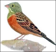 Quel est ce petit oiseau mesurant 16 cm ?