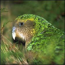 Cette espèce de perroquet nocturne est un kakapo. Jusqu'à quel âge peut-il vivre ?