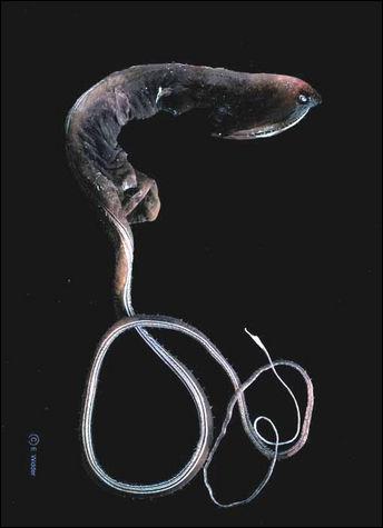 Combien le grandgousier mesure-t-il ? Ce poisson peut vivre à plus de 3 000 m de profondeur.