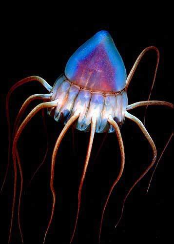 Jusqu'à combien de mètres de profondeur peut-on trouver ces immenses méduses casquées (Periphylla periphylla) de plus d'un mètre d'envergure ?
