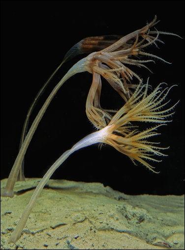 Jusqu'à combien de mètres trouve-t-on des plumes de mer pleureuses (Umbellula magniflora) ?