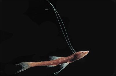 À quoi servent les longues nageoires pectorales du poisson trépied (Bathypterois dubius)