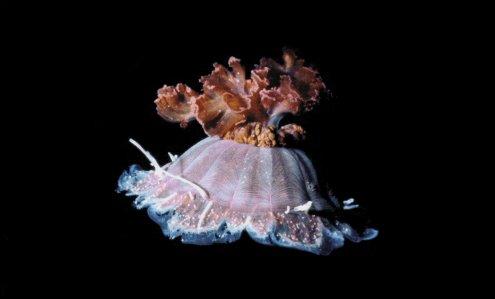 Quel est le nom de cette méduse ?