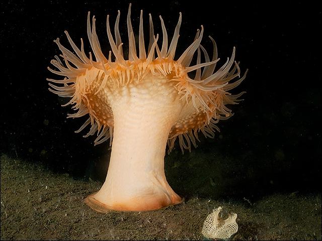 Où trouve-t-on ces anémones Actinostola callosa de plus de 30 cm ?