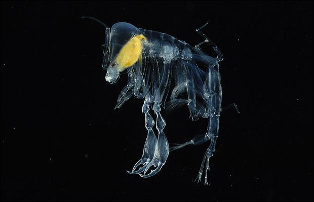 La créature de quel film a été inspirée par l'amphipode landau (Phronima sedentaria) ? Ce crustacé de 2 cm vit en parasite dans le corps de méduses entre 200 et 1 000 m de profondeur.