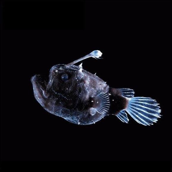 Que sont ces petites perles qui parcourent le corps du poisson-football (Himantolophus paucifilosus) ?