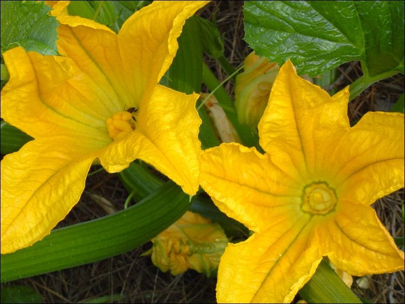 Ces fleurs magnifiques, d'un jaune soutenu, sont celles de ?