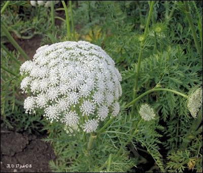 Voici une fleur en ombelle, qui existe aussi en version  sauvage . C'est une fleur de ?