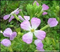 A quatre pétales, les délicates fleurs ?
