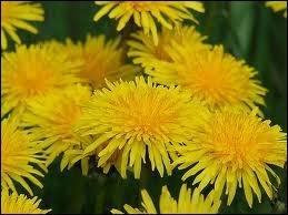 Ceci est la très jolie fleur d'une salade délicieuse, la fleur de ?