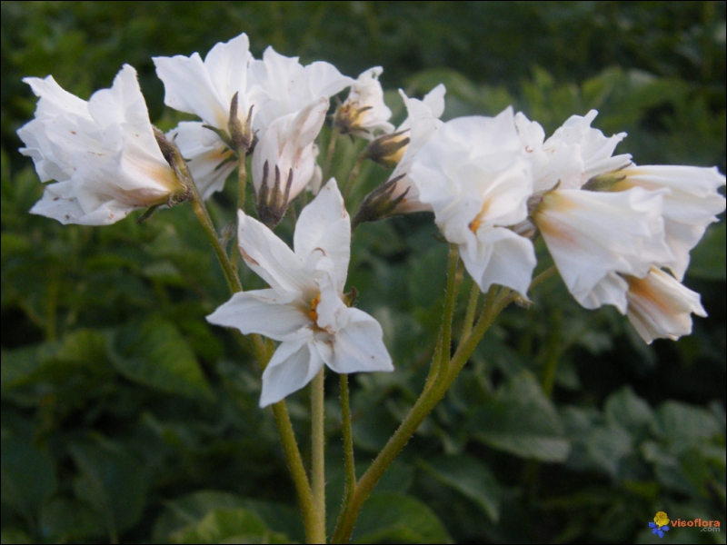 Ces très belles fleurs sont celles de ?