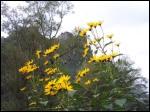 Ces corolles jaunes sont à plus de deux mètres de hauteur. Ce sont les fleurs de ?