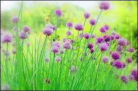 D'une jolie couleur mauve, voici les fleurs de ?