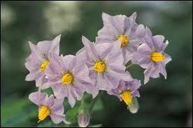 D'un mauve délicat, voici les fleurs de ?